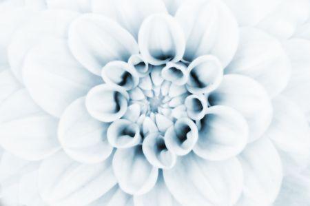 The close up center of dahlia flower Stock Photo