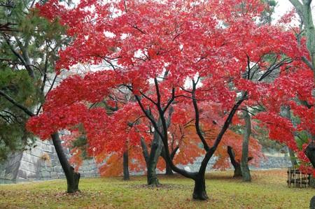 Die rote Ahornbäume im japanischen Garten Standard-Bild