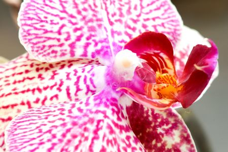 orchideae: Close up of pink orchid