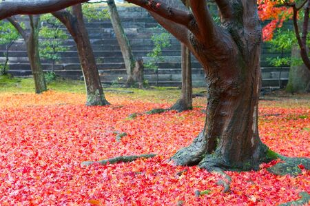 The red maple trees in japanese garden  photo