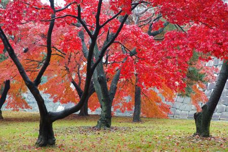 japanese fall foliage: The red maple trees in japanese garden