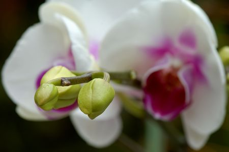 orchideae: Close up of white orchid and buds
