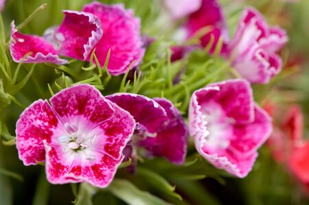 calyxes: Small pinky flowers with details Stock Photo