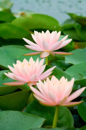 The blooming (detail) of pink water lilies over green leafs Stock Photo - 5113311