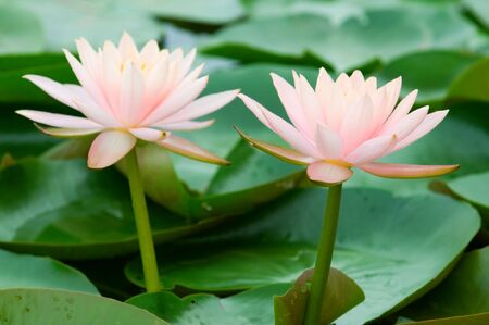 The close up (detail) of two pink water lily side by side Stock Photo - 5113287
