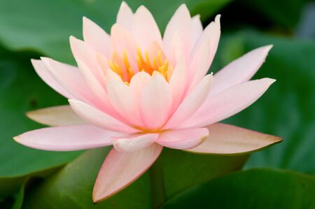 The close up (detail) of pink water lily