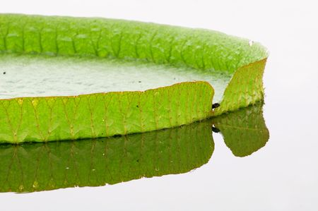 Close up rim of giant lotus leafs over water photo