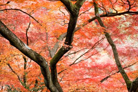 maple trees: The red maple trees in japanese garden