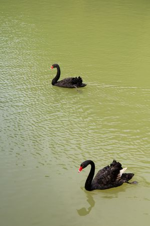 Two black goose floating on water at pond photo