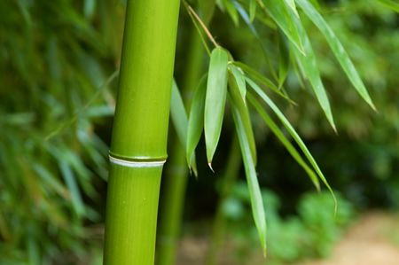 The close up of bamboo tree in forest photo