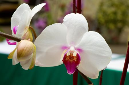 orchideae: Close up of white orchid Stock Photo