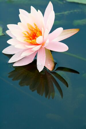 The close up (detail) of pink water lily with reflection over water