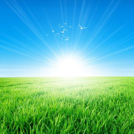 朝の太陽の下でスプリング フィールド。昇る太陽の下でゆっくりと成長して緑の草の新鮮なフィールドです。高く白い鳥が飛ぶ