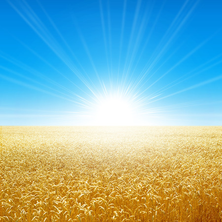 despacio: Campo de verano bajo el sol de la mañana. Campo fresco de trigo dorado creciendo lentamente bajo el sol naciente