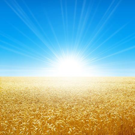 Summer field under the morning sun. Fresh field of golden wheat growing slowly under the rising sun photo