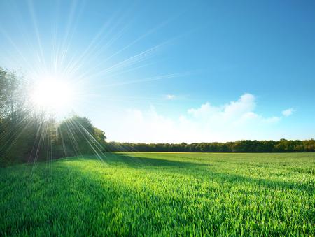 昇る太陽の下でゆっくりと成長して緑の草の新鮮なフィールド