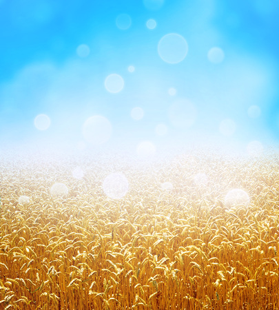 Golden wheat field growing slowly on a fresh blue sky background
