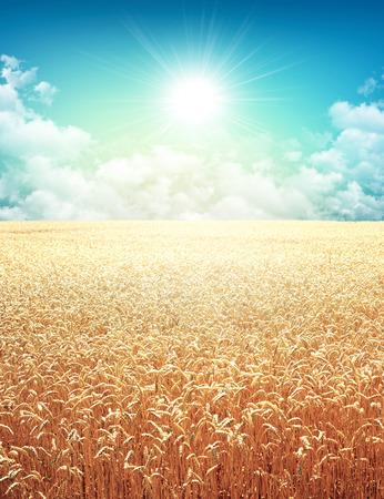 Golden campo de trigo creciendo lentamente en un cielo por la mañana soleado