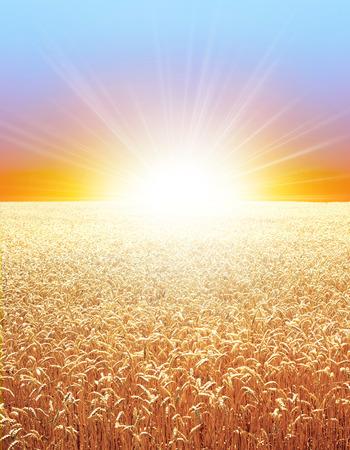 Golden wheat field growing slowly under the sunrise
