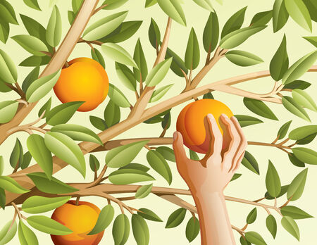 branch to grow up: Vector illustration of harvest peaches.