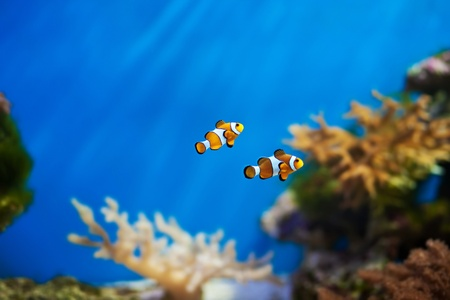 clown anemonefish: clown fish in the aquarium