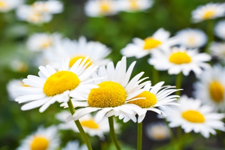 camomile flower on green field photo