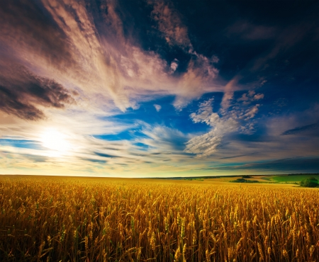 landscape  Ukrainian wheat field on the background of texture sky