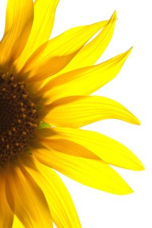 yellow Sunflower petals closeup isolated photo