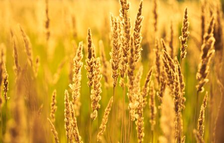 spikelets: yellow Spikelets of bloominggrass