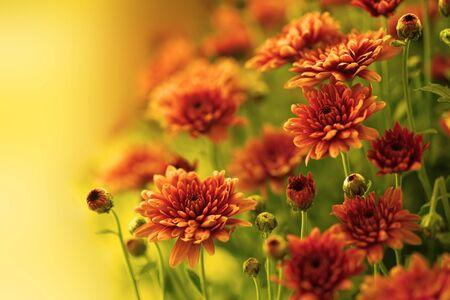 Colorful autumnal chrysanthemum Stock Photo - 15579099