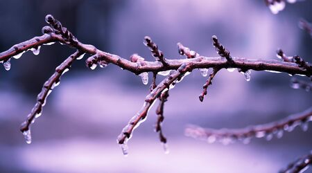 winter  blue branch in the ice photo