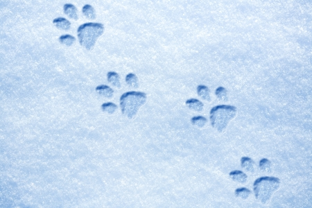 cat paw tracks on the snow photo
