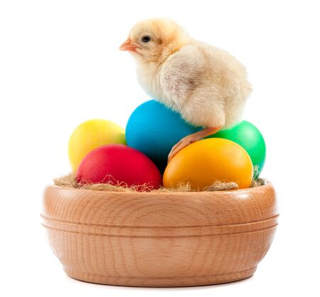 yellow chick with easter eggs  isolated photo