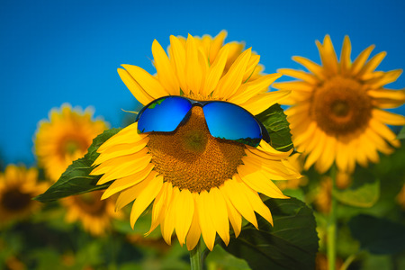 sunflowers in sun glasses on a blue sky photo