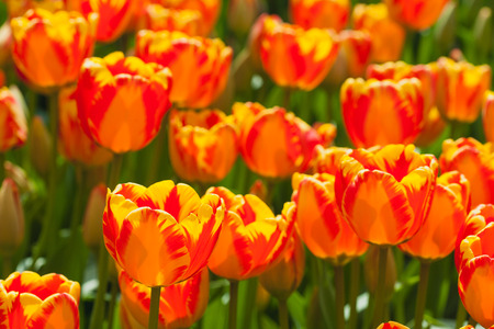 Fresh colorful tulips in warm sunlight photo