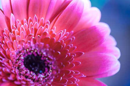 花びら: ガーベラの花びら
