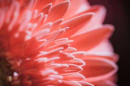 花びら: gerbera flower petals 写真素材
