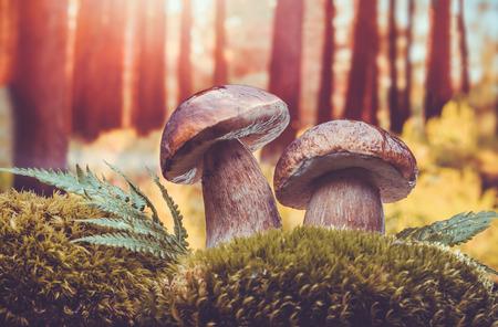 boletus mushroom: closeup of boletus mushroom in the moss. porcini