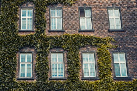 Vintage windows on a brick wall covered with greenery