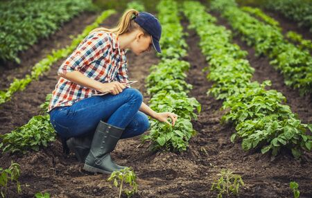 female agronomist checks potato growth rates on an eco farm. Organic farming