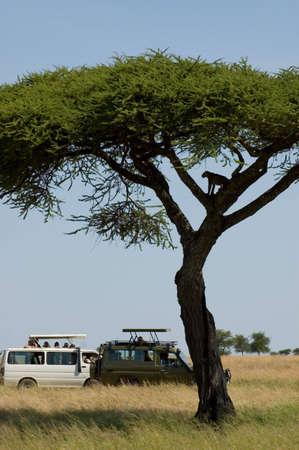 Tanzania, Serengeti national park, leopard on the tree, foto-safari. photo
