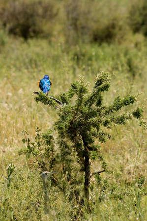 superb: Tanzania, Serengeti national park, two birds, superb starling and more bird.