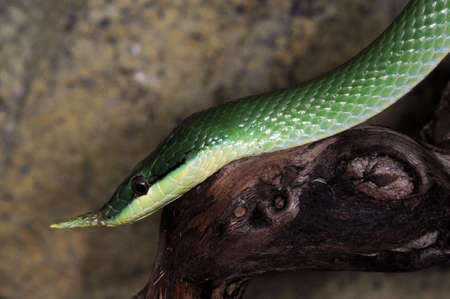nouse: Green tree snake in the terrarium.