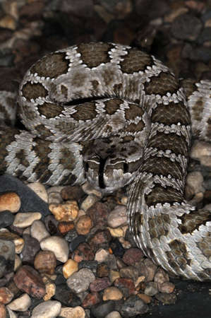terrarium: Desert venomous snake in the terrarium. Stock Photo