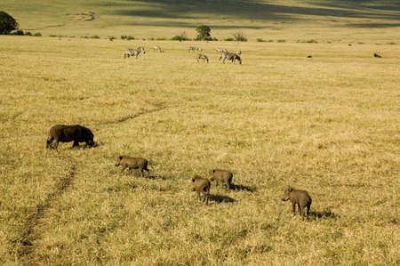 Warthog in the savanna. photo