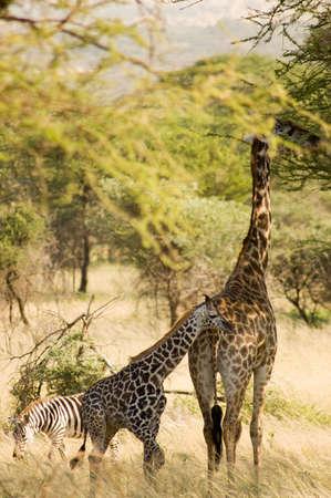 Two giraffe in savanna. photo