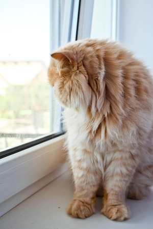 living idyll: Beautiful cat sitting on windowsill and looking out of a window
