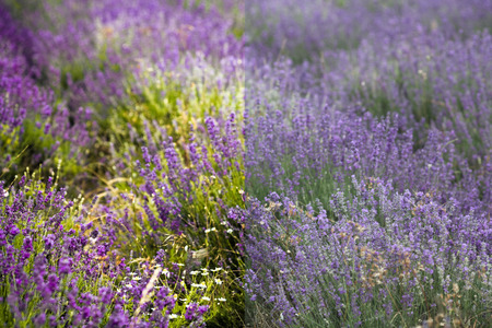 editing: lavender field before and after the image editing process