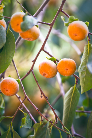 persimmon tree: Japanese persimmon tree ( kaki ) with fruits.