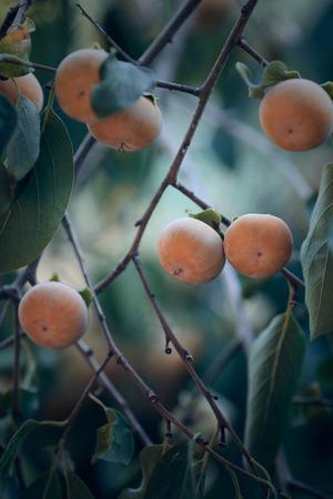 persimmon tree: Japanese persimmon tree ( kaki ) with fruits.